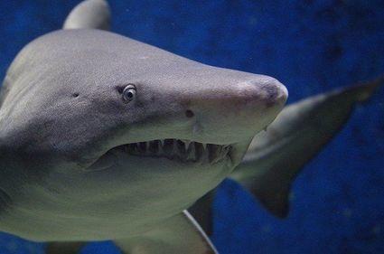 Pół miliona rekinów może stracić życie z powodu szczepionki na COVID-19