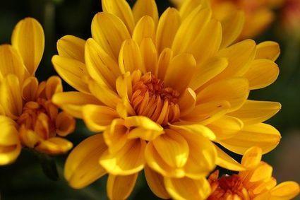 Chryzantemy - kwiaty magiczne