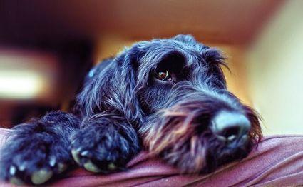 Labradoodle - pies przewodnik dla alergików