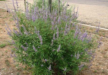 Niepokalanek - roślina, która miała chronić przed zdradami męża. Poznajcie stary rytuał!