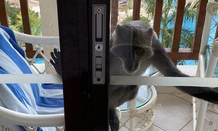 Siedem dni z kenijskimi małpami. Kradną, wypijają drinki, niełatwo się ich pozbyć
