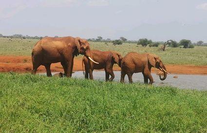 Słonie w Kenii stosują tę samą roślinę w celu wywołania porodu, co miejscowe kobiety