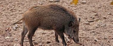 26 października na terenie naszej gminy stwierdzono przypadek choroby zakaźnej zwierząt podlegającej obowiązkowi zwalczania, tj. afrykańskiego pomoru świń.