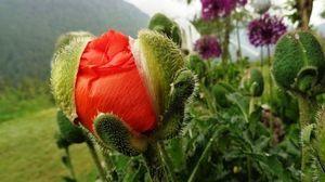 Informacja w sprawie upraw maku niskomorfinowego i konopii włóknistych