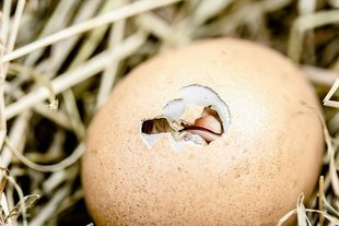 Odwieczny problem - co było wcześniej - jajko czy kura?