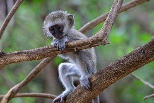 Dlaczego małpy - kotawce nie chorują na AIDS? Oto jest pytanie!
