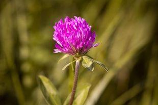 5 roślin najlepszych na menopauzę