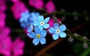 Niezapominajka - kwiat tragicznej miłości