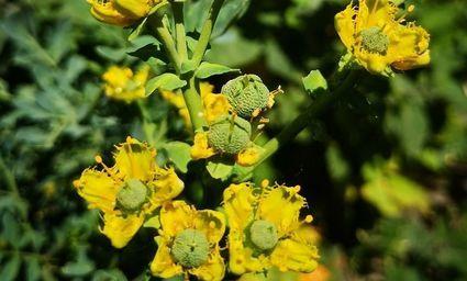 Ruta - najbardziej magiczna roślina. Stosowana do dziś