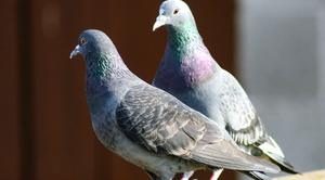Uwaga! Ptasia grypa (HPAI)