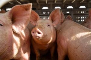 ASF - zasady bioasekuracji