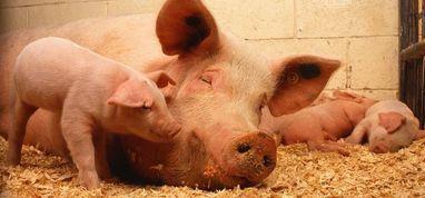 """""""Przestrzeganie zasad bioasekuracji zawartych w przepisach rozporządzenia Ministra Rolnictwa i Rozwoju Wsi w sprawie środków podejmowanych w związku z wystąpieniem afrykańskiego pomoru świń, w gospodarstwach"""