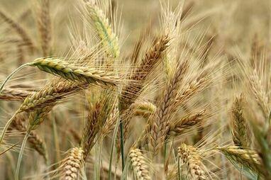 Susza rolnicza 2021. Zgłaszanie i szacowanie szkód wyłącznie przez aplikację.