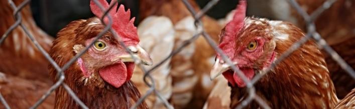 Informacja dla hodowców drobiu w związku z ptasią grypą