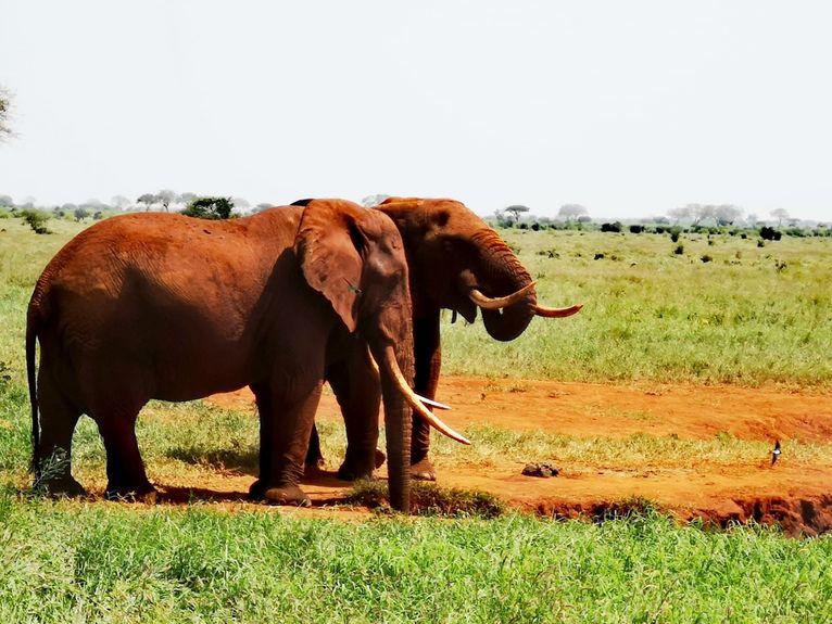 Słonie w Tsavo