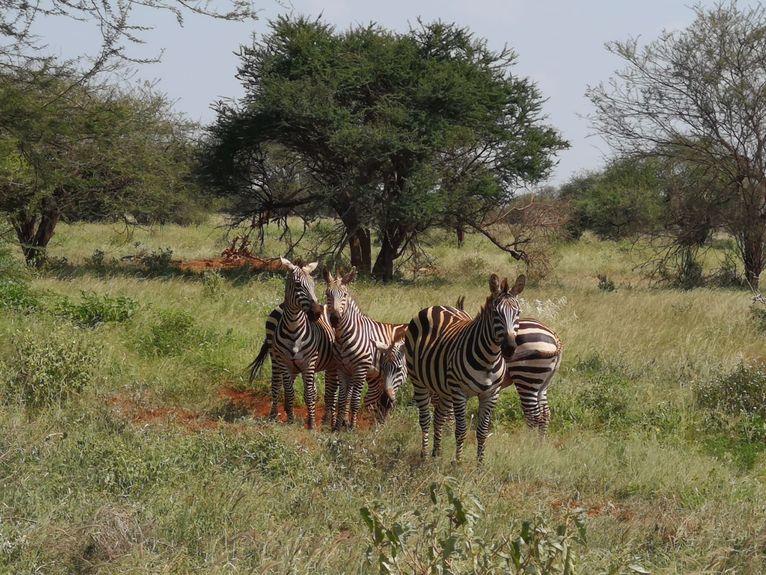 Zebry w Tsavo.