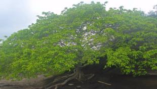 drzewo śmierci